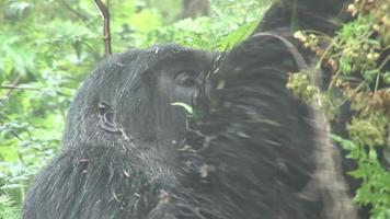 floresta tropical de ruanda gorila selvagem video