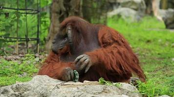 retrato de corpo inteiro de um macho orangotango sentado na grama para quebrar a rocha.