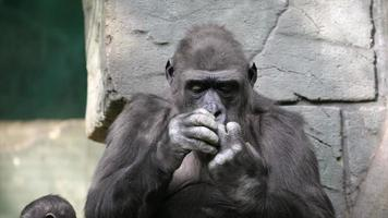 Hand care of a gorilla female, very muscular monkey with mighty and calloused fingers.