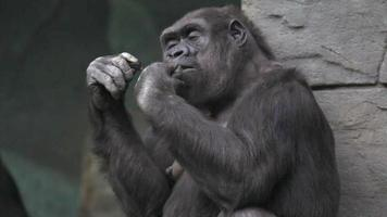 Hand caring of a gorilla female, very muscular monkey with mighty and calloused fingers.
