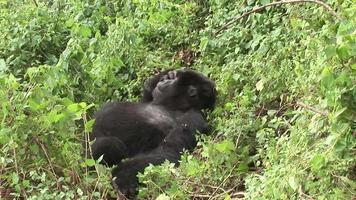 Wild Gorilla animal Rwanda Africa tropical Forest