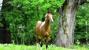 Pinto arabian galopant sur meadow