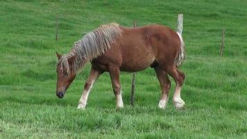 caballos pastando, caballos, animales de granja video