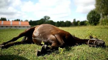 Horse lying on a meadow video