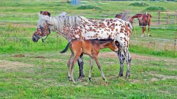 fleckige Stute füttert das Fohlen auf einer Weide