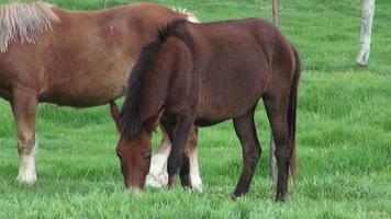 cavalli al pascolo, cavalli, animali da fattoria
