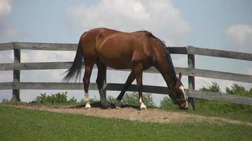 braunes Pferd.