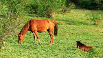 Pferde. video