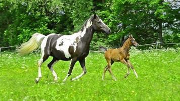 chevaux arabes au galop asil - slowmotion