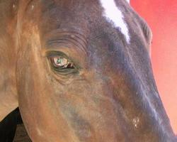 primer plano de la cabeza del caballo marrón (hd_link_below) video