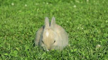 coelho comendo grama