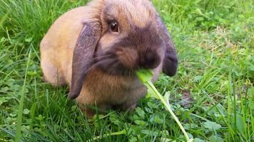 coelho fofo comendo grama video