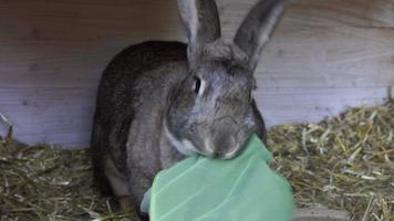 Rabbit eating a leaf