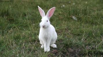 conejo blanco comiendo hierba