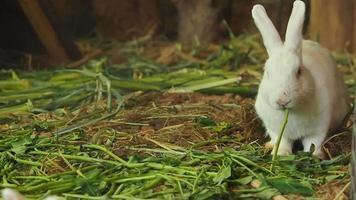 Rabbit eating green grass.