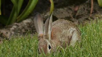 Bunny Rabbit Eating Grass video