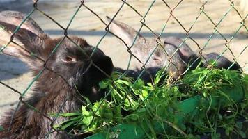 conejos negros comiendo hierba video