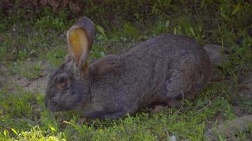 Gray pet rabbit sitting in the shade and eat grass. Slow mo, slo mo