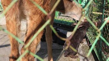 ciervo sika toma la hierba de los conejos.
