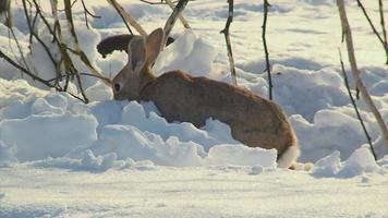 conejo comiendo en la nieve video