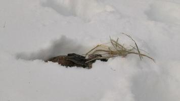 conejo comiendo heno en la nieve video