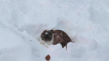 conejo comiendo heno en invierno video