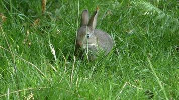 Wild baby rabbit eating grass