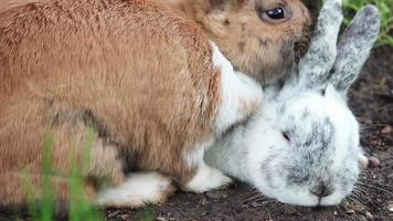 Two rabbits snuggle in spring
