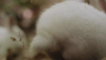 conejitos blancos en bosque paquete tres.