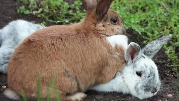 Two rabbits snuggle