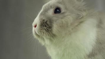 coelho cinza