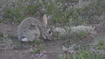 conejo de cola de algodón video