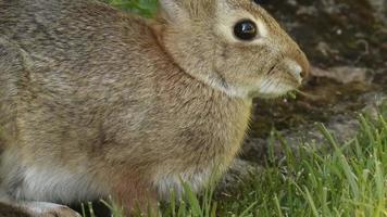 Rabbit Grazing video