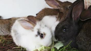 familia de conejos alimentando hojas de col video