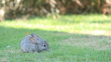 Small Rabbit are grazing green grass