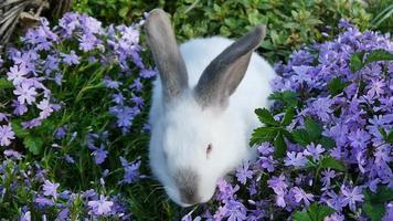 conejo blanco y flores lilas.