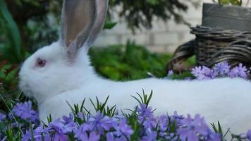 conejo blanco en flores moradas