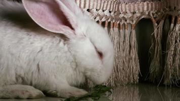 weißes Kaninchen frisst Gras