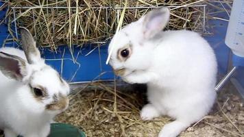 dos conejos blancos