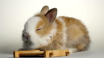 Lovely dwarf rabbit video