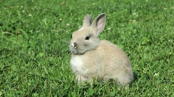 coelho na grama