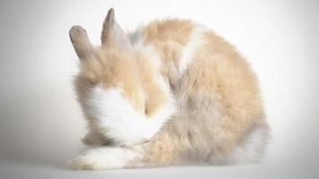 encantador conejo enano