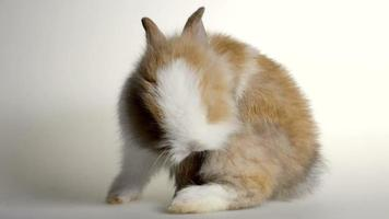 Lovely dwarf rabbit