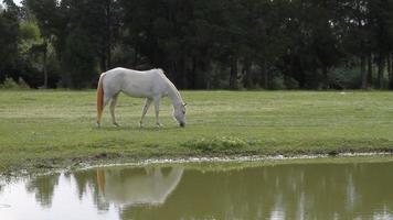 Palomino Horse Grazing video