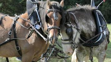 Clydesdale-Pferdepaar