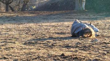 ein Pferd, das auf dem staubigen Boden liegt