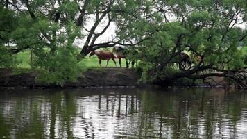 vista de verão no lago da floresta e cavalos passando