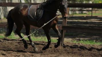 Bay horse running in a circle on the arena video