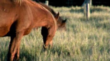 chevaux mangeant de l'herbe haute dans la douce lumière de l'après-midi