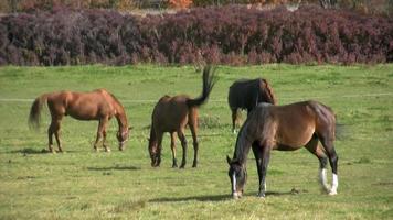 Pferde weiden video
